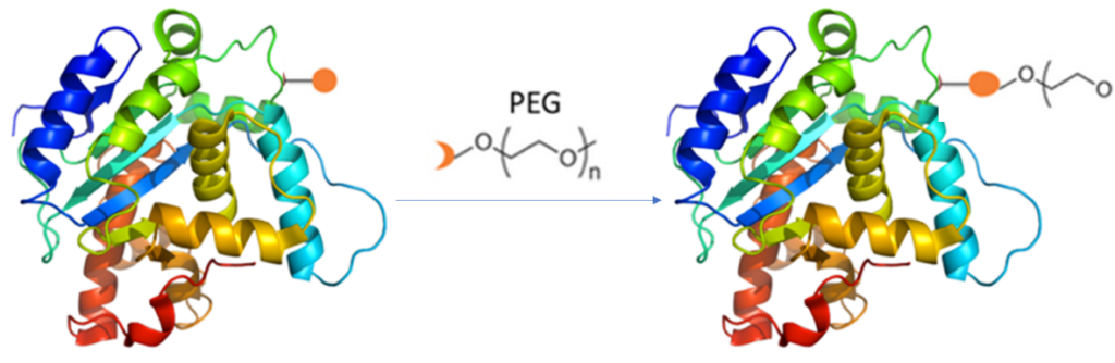 PEGylated proteins